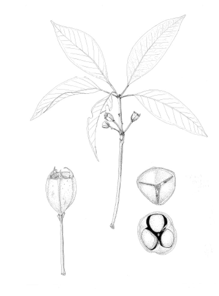 Lophostemon confertus.png