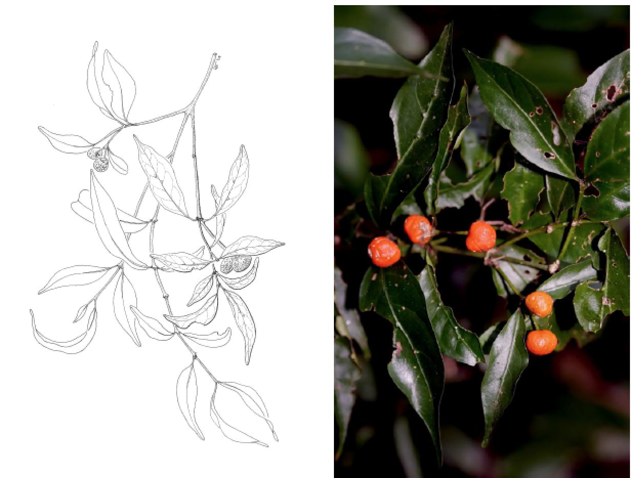 Morinda jasminoides.png