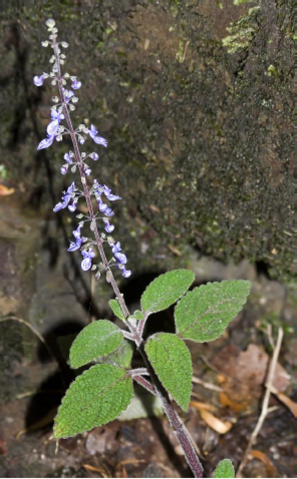 Plectranthus graveolens.png