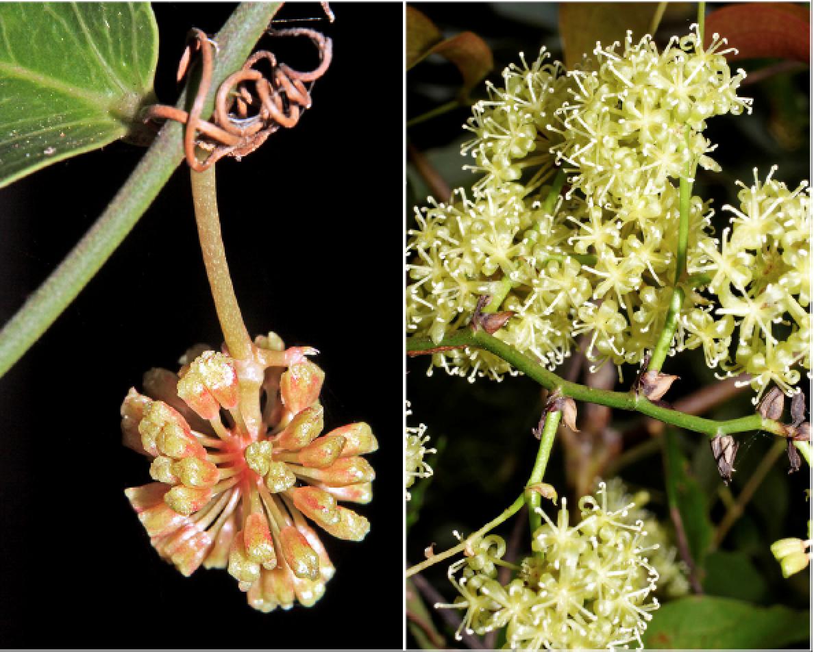 Smilax australis.png