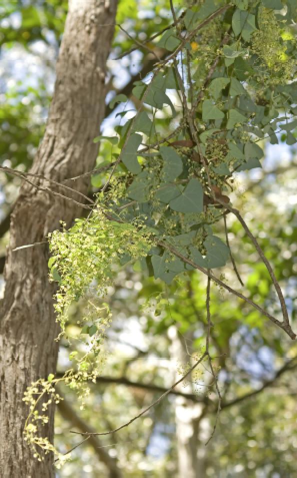 Tinospora tinosporoides.png