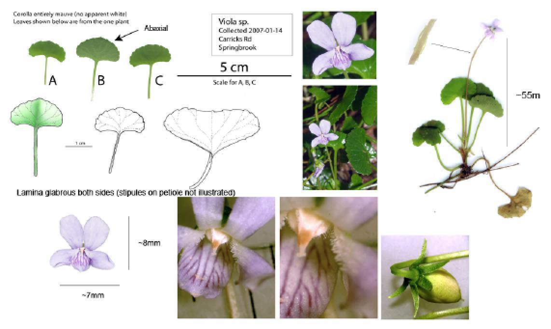 Viola silicestrus.png