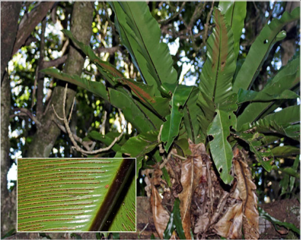 Asplenium australasicum.png
