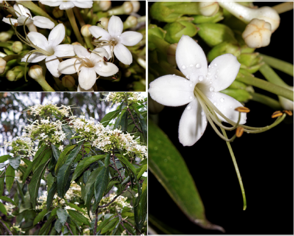 Clerondendron floribundum.png