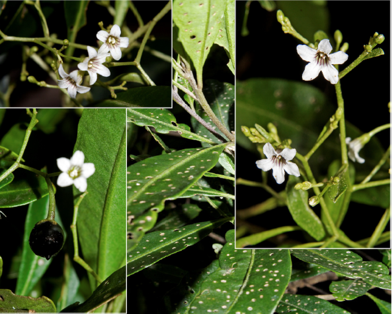 Duboisia myoporoides.png