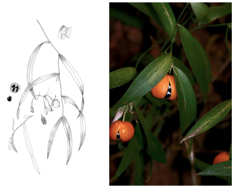Eustrephus latifolius.png