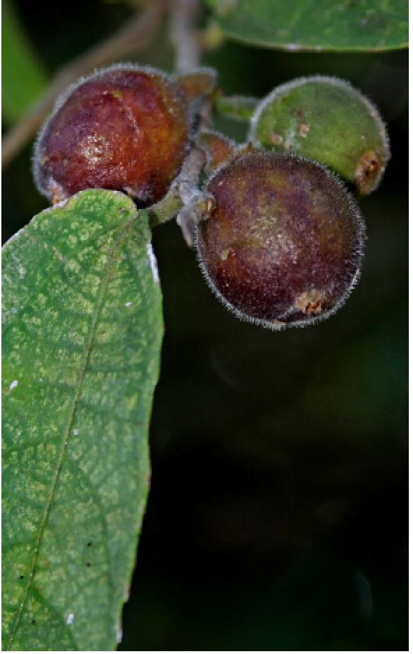 Ficus coronata.png