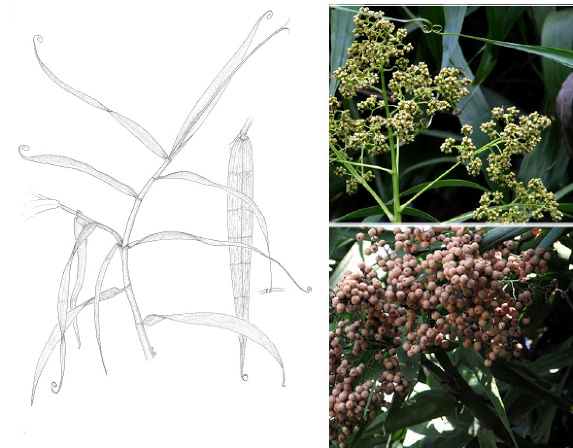 Flagellaria indica.png