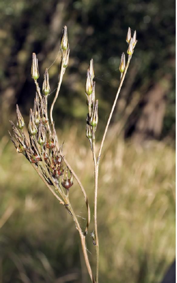 Haemodorum tenuifolium.png