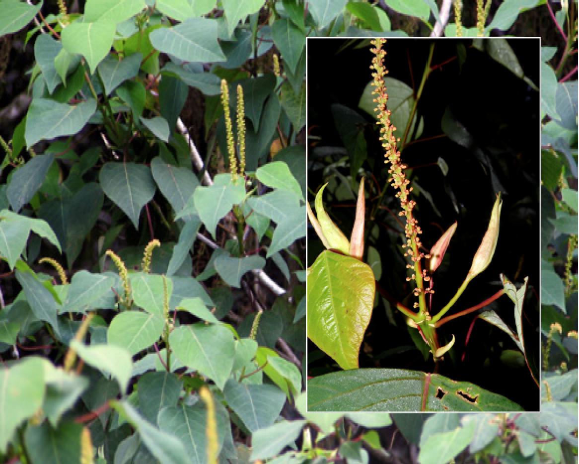 Homalanthus nutans.png