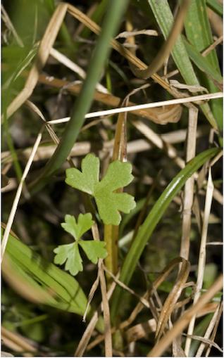 Lomandra filiformis.png