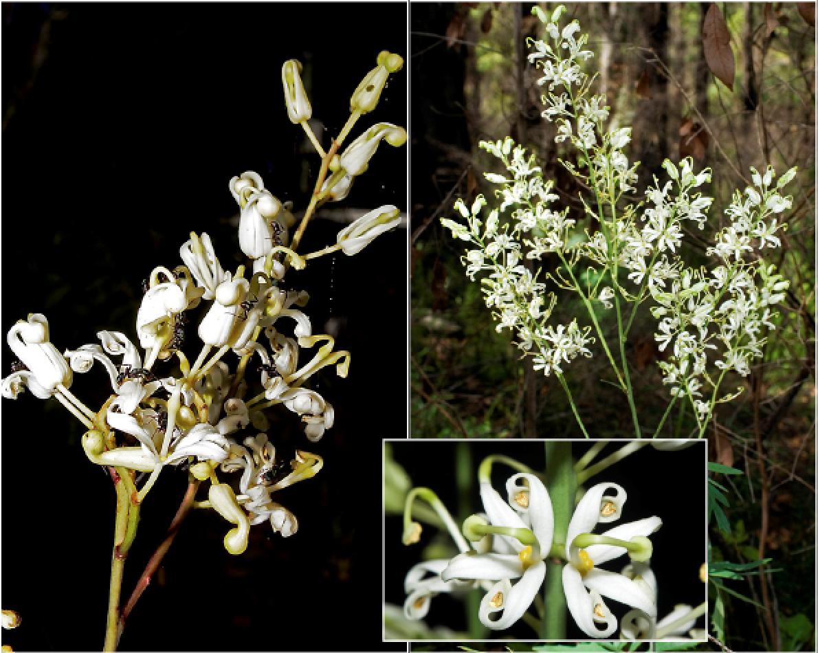 Lomatia silaifolia.png