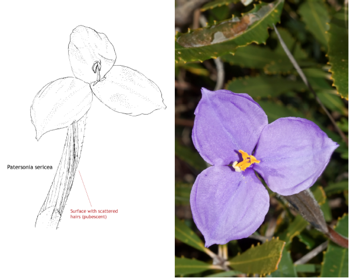 Patersonia sericea.png