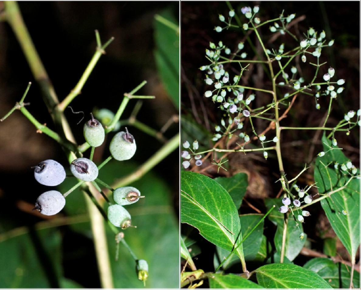Polyscias sambucifolia.png