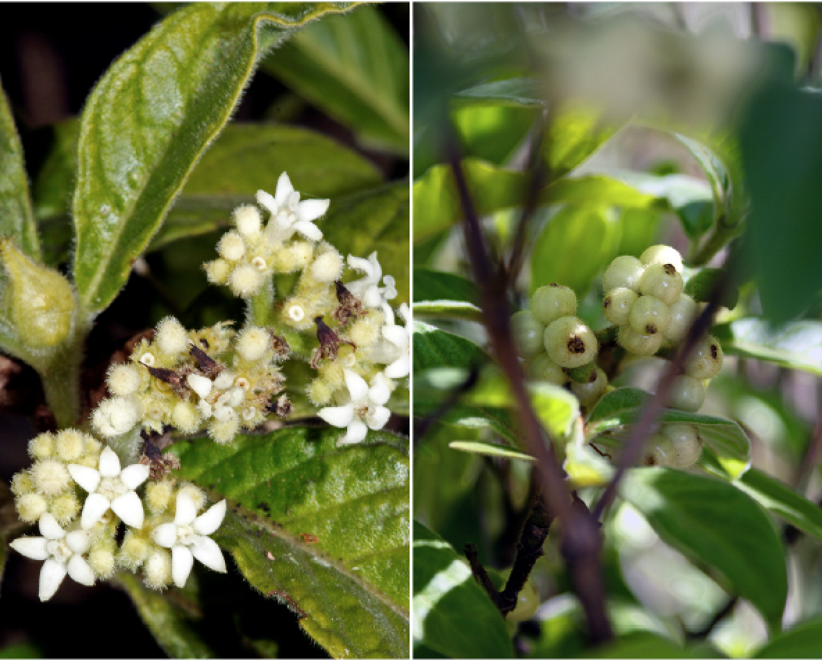 Psychotria loniceroides.png