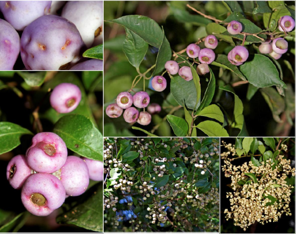 Syzygium smithii.png