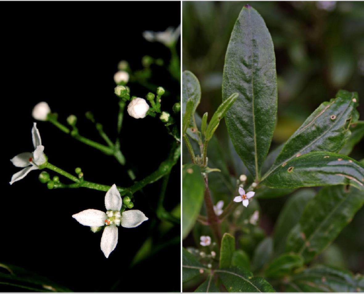 Zieria smithii.png