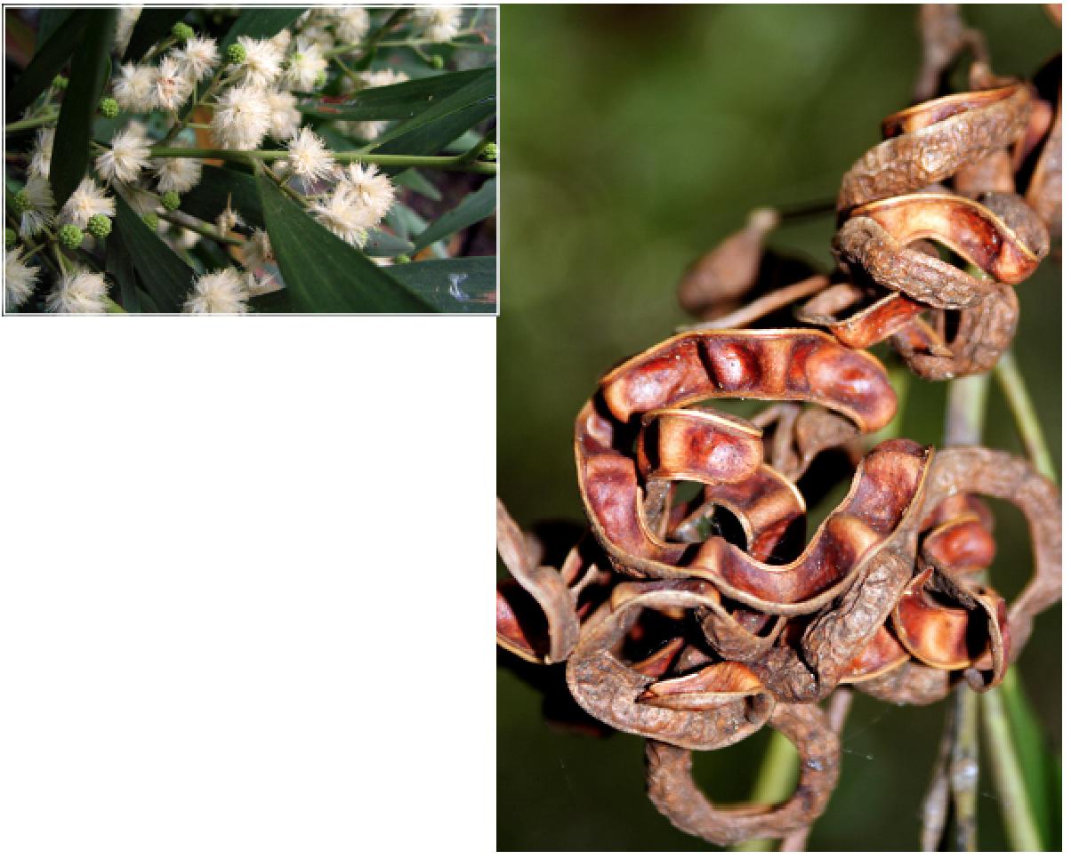 Acacia melanoxylon.png