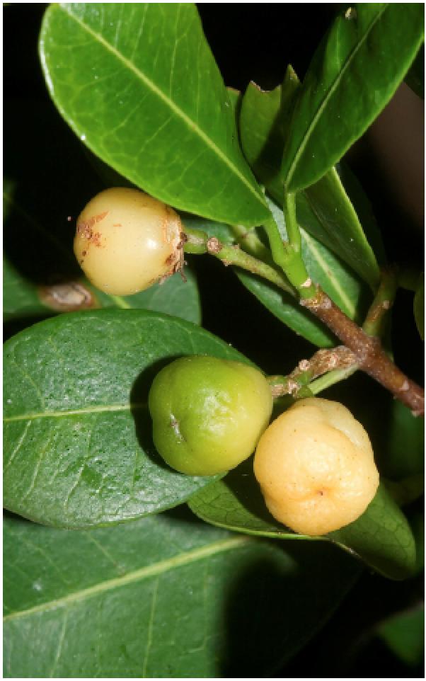 Acronychia oblongifolia.png
