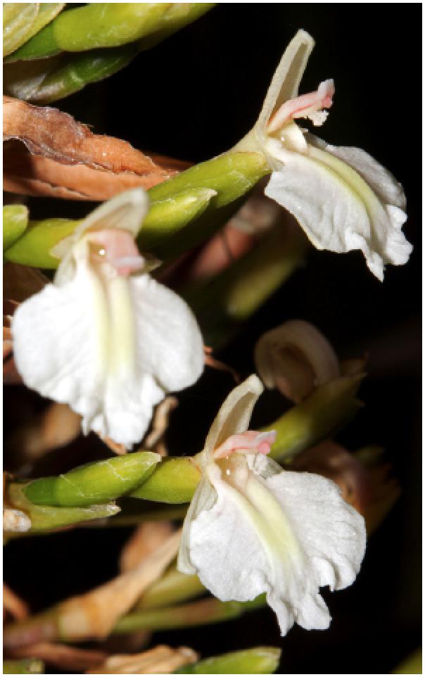 Alpinia caerulea.png