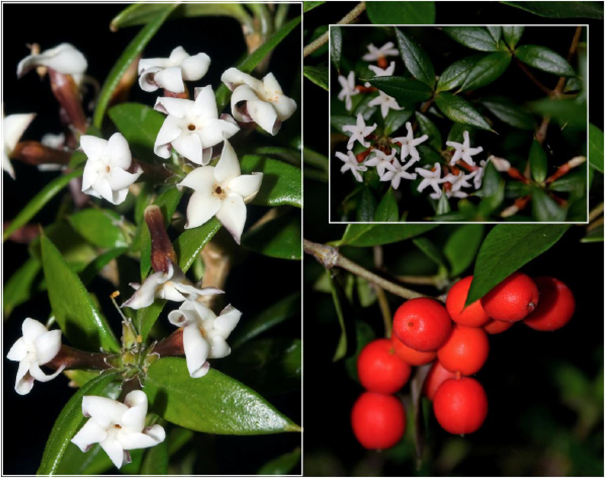 Alyxia ruscifolia.png