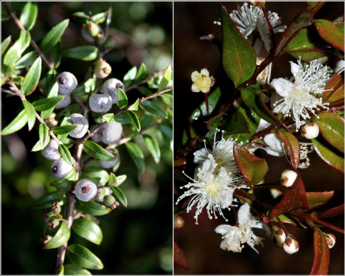 Austromyrtus dulcis.png