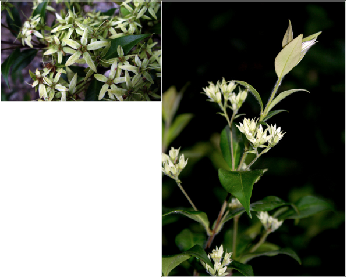 Backhousia myrtifolia.png