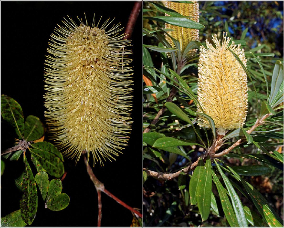 Banksia integrifolia.png