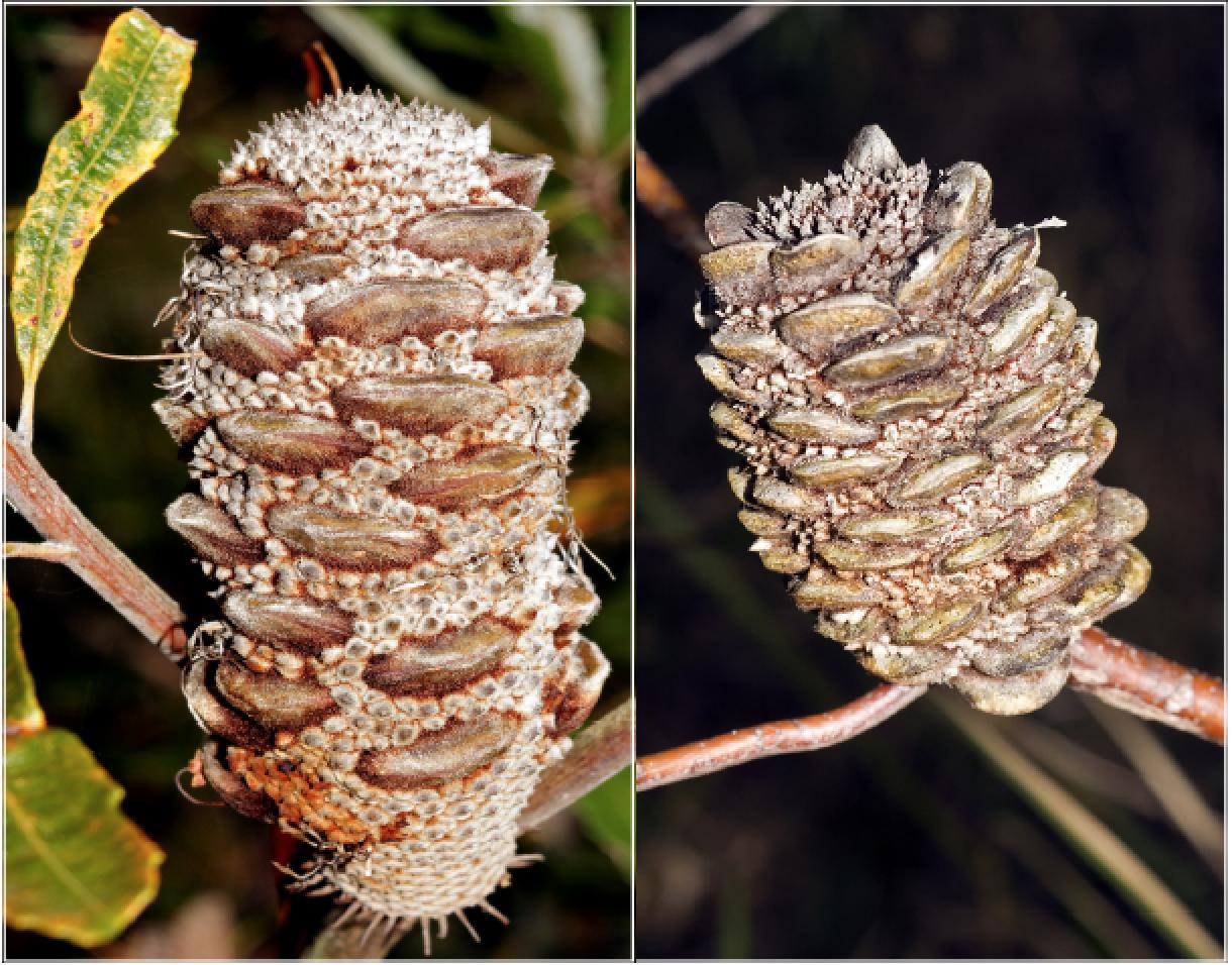 Banksia oblongifolia.png
