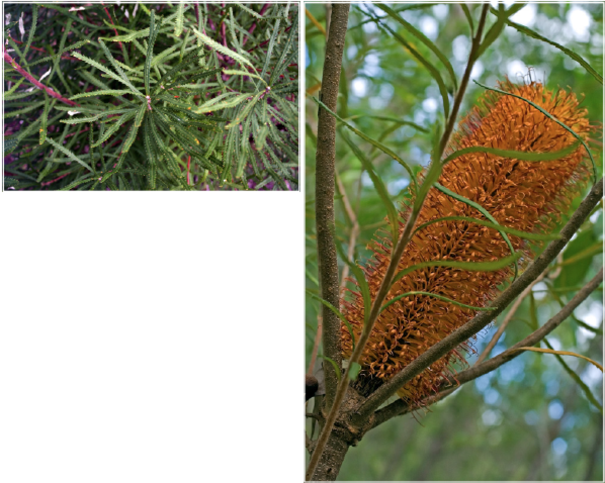 Banksia spinulosa.png