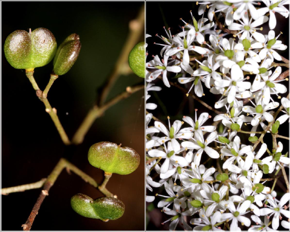 Bursaria spinosa.png
