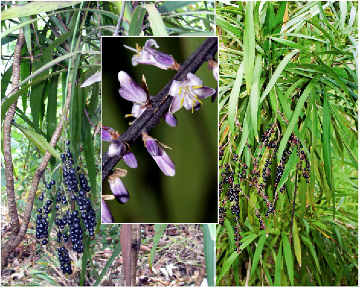 Cordyline stricta.png