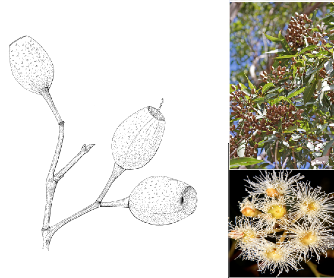 Corymbia intermedia.png
