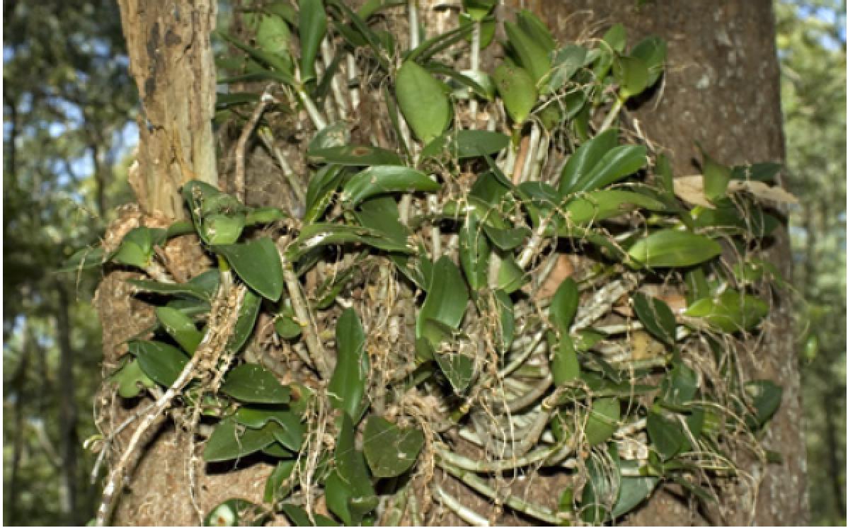 Dendrobium aemulum.png