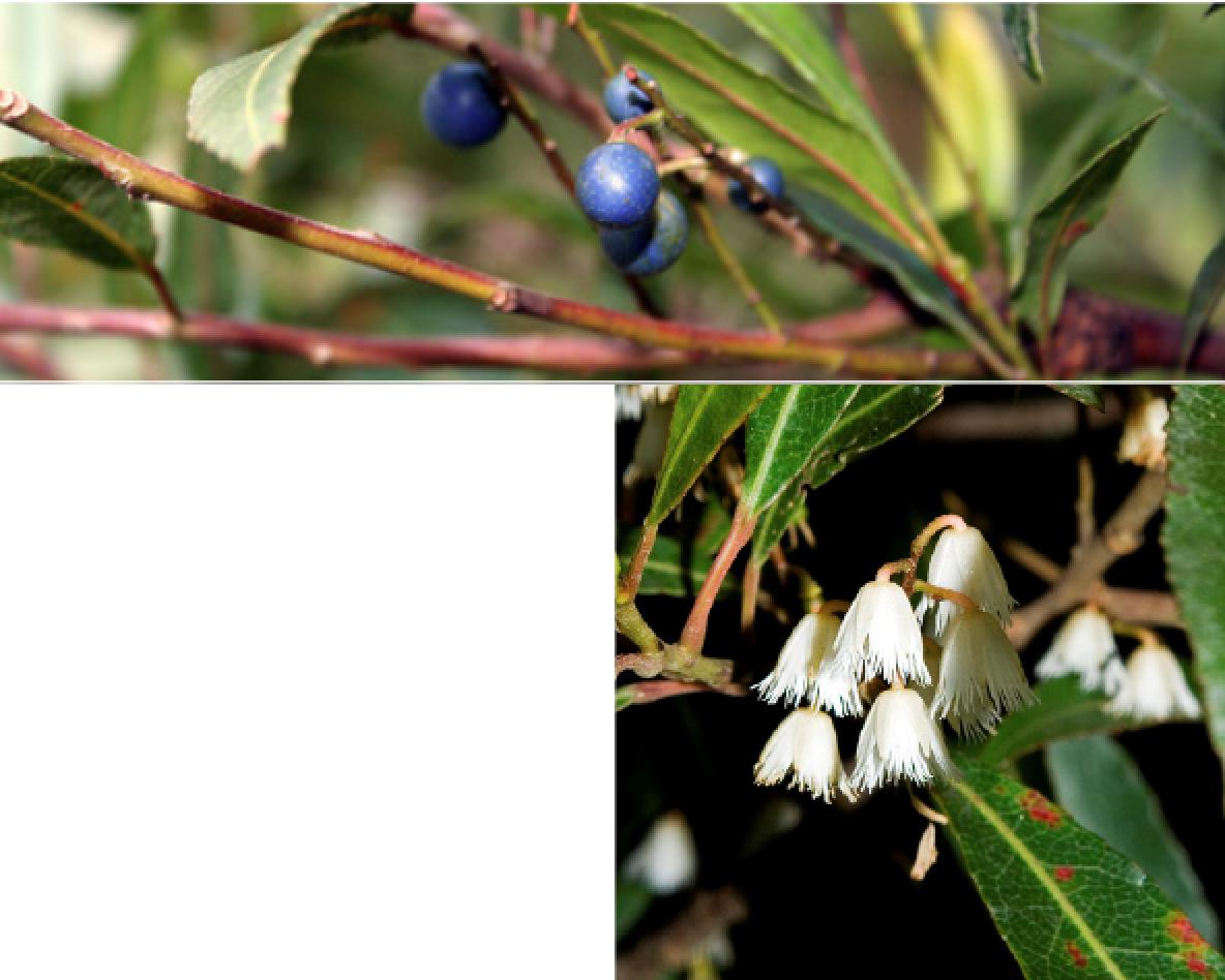 Elaeocarpus reticulatus.png