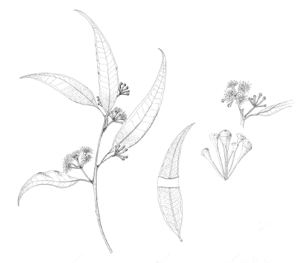 Eucalyptus microcorys.png