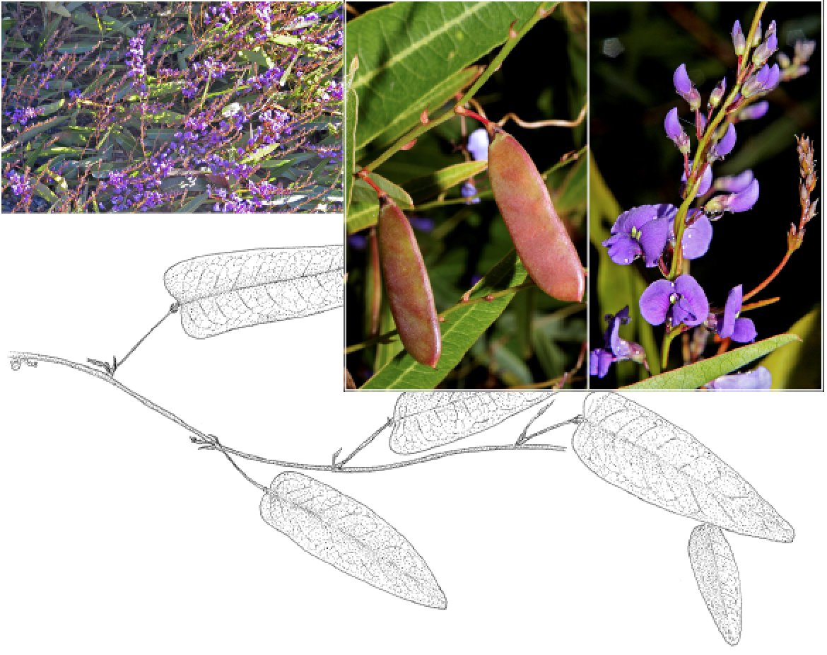 Hardenbergia violacea.png