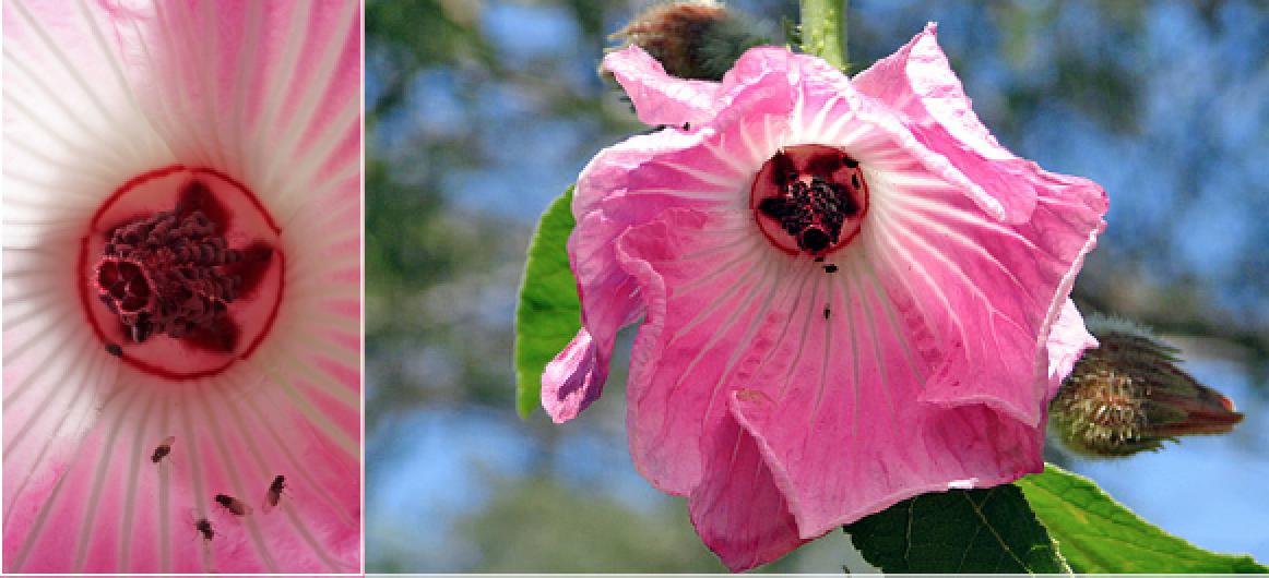 Hibiscus splendens.png